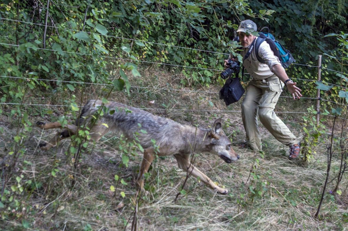 Pracovník Správy KRNAP pomáhá vlčici zpět na svobodu