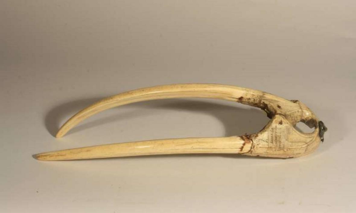 Horní čelist mrože pocházejí z doby mezi roky 1200 a 1400