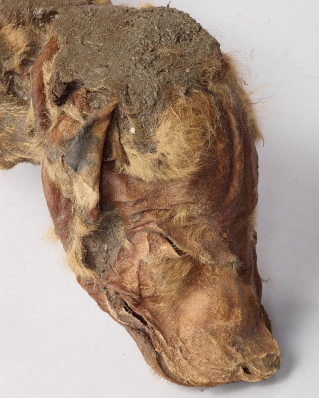 Detail vlčí hlavy z Yukonu