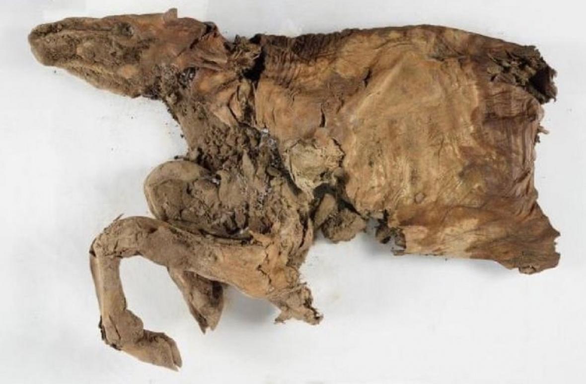 Mumie sobího mláděte