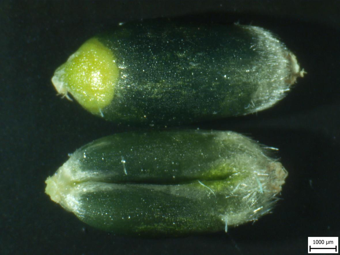 Zrající plody modré pšenice