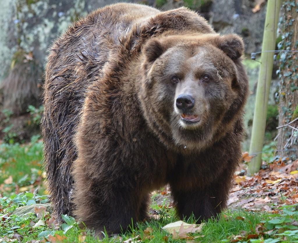 Samice medvěda hnědého grizzly Helga