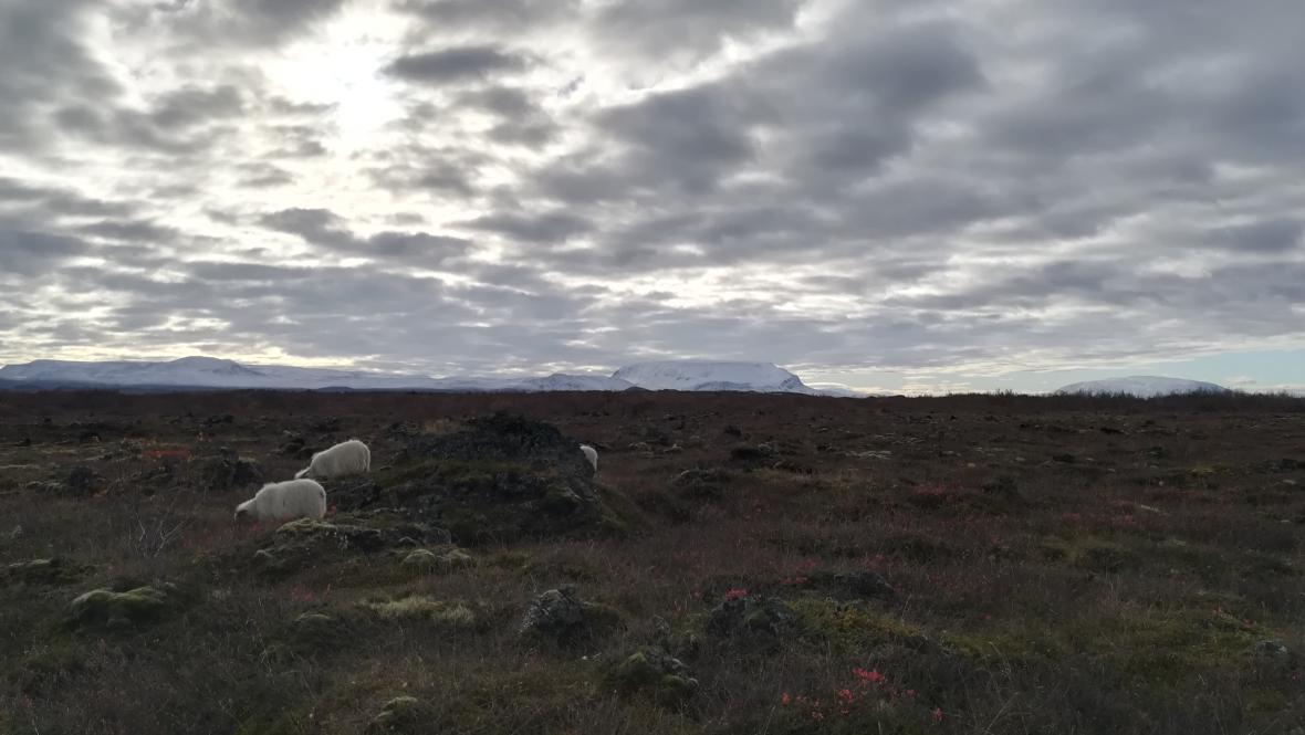 Ovce na Islandu přispívají k erozi půdy