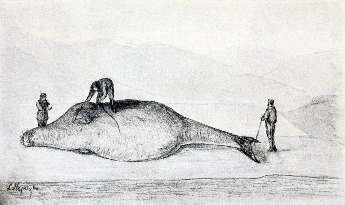 Zobrazení korouna z deníku Georga Wilhelm Stellera