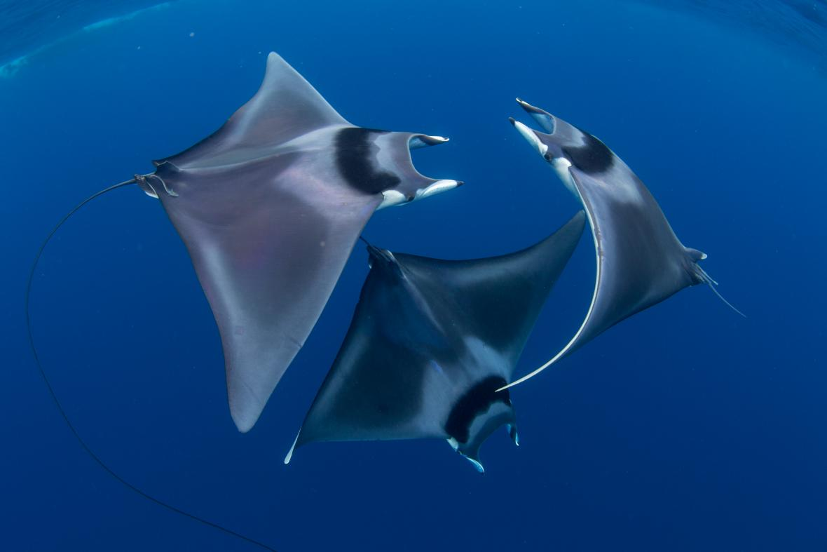Courting devil ray ballet
