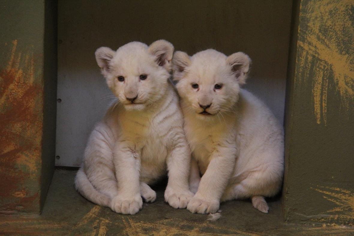 Bílá lvíčata v hodonínské zoo