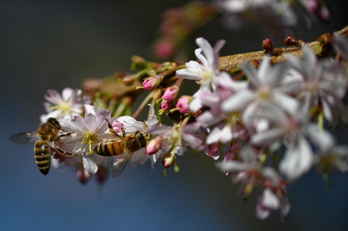 Včely na prvních třešňových květech v německém Kolíně (27. února)