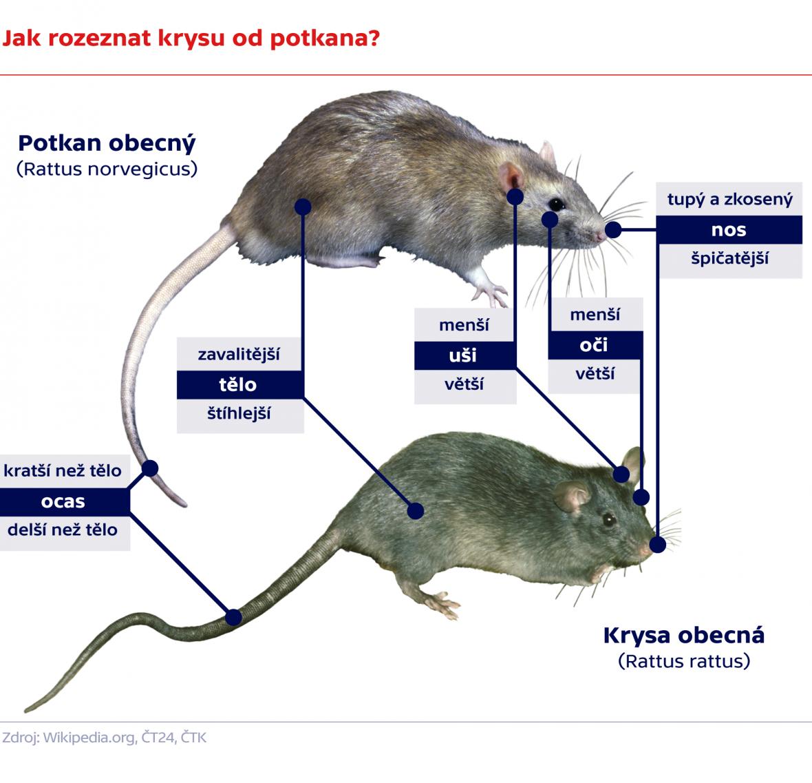 Jak rozeznat krysu od potkana?