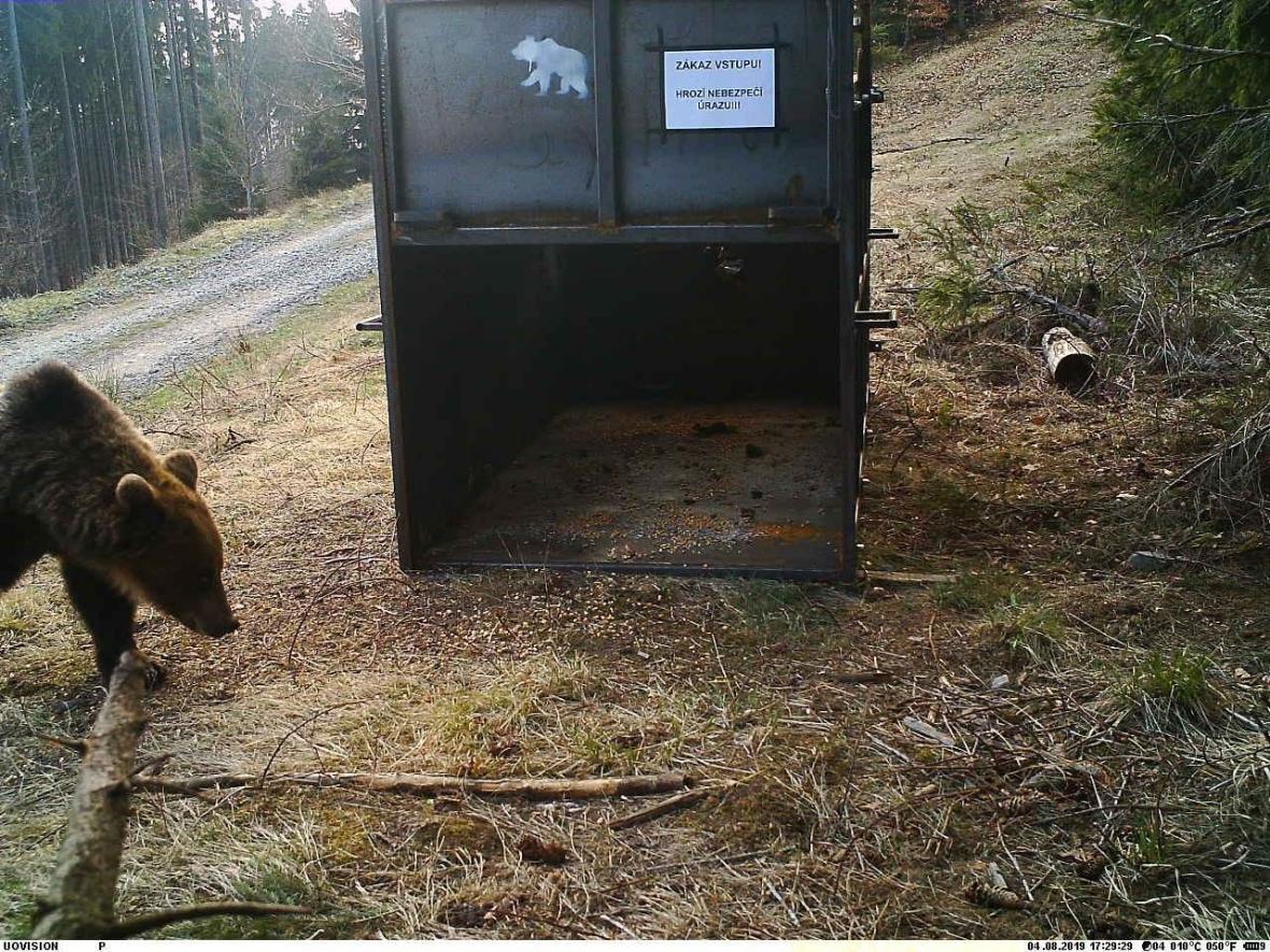 Medvěd před odchytovou klecí