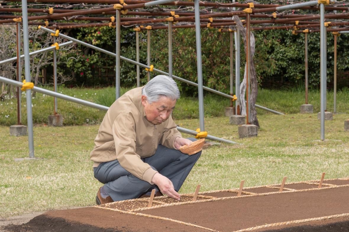 Císař Akihito sází rýži