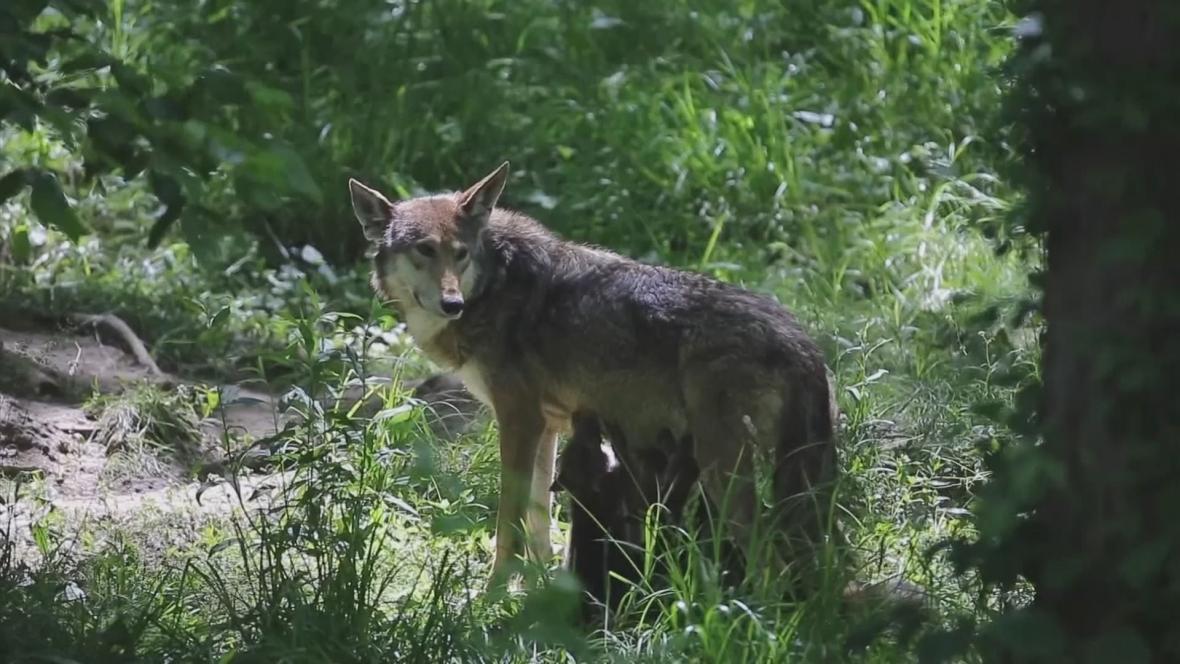 Vlci rudohnědí se pohybují na hranici vyhubení