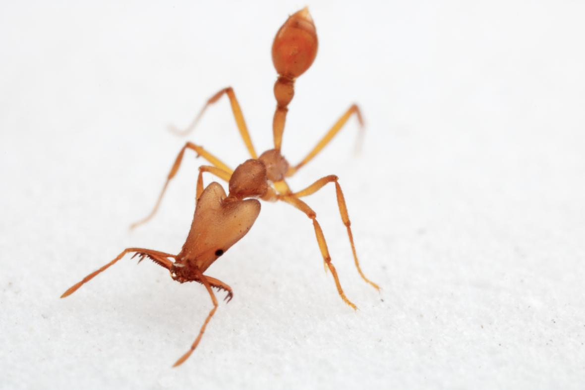 Nově objevený druh mravenců