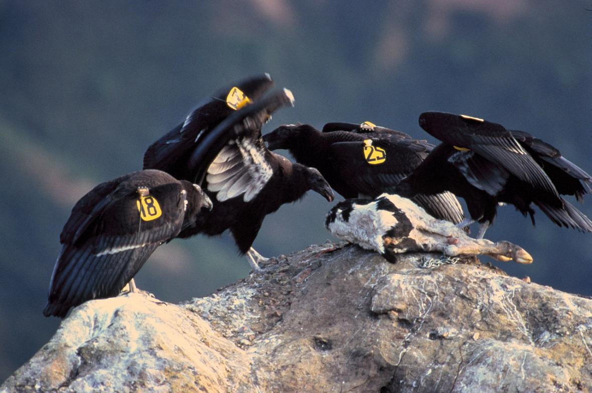 Kondor kalifornský