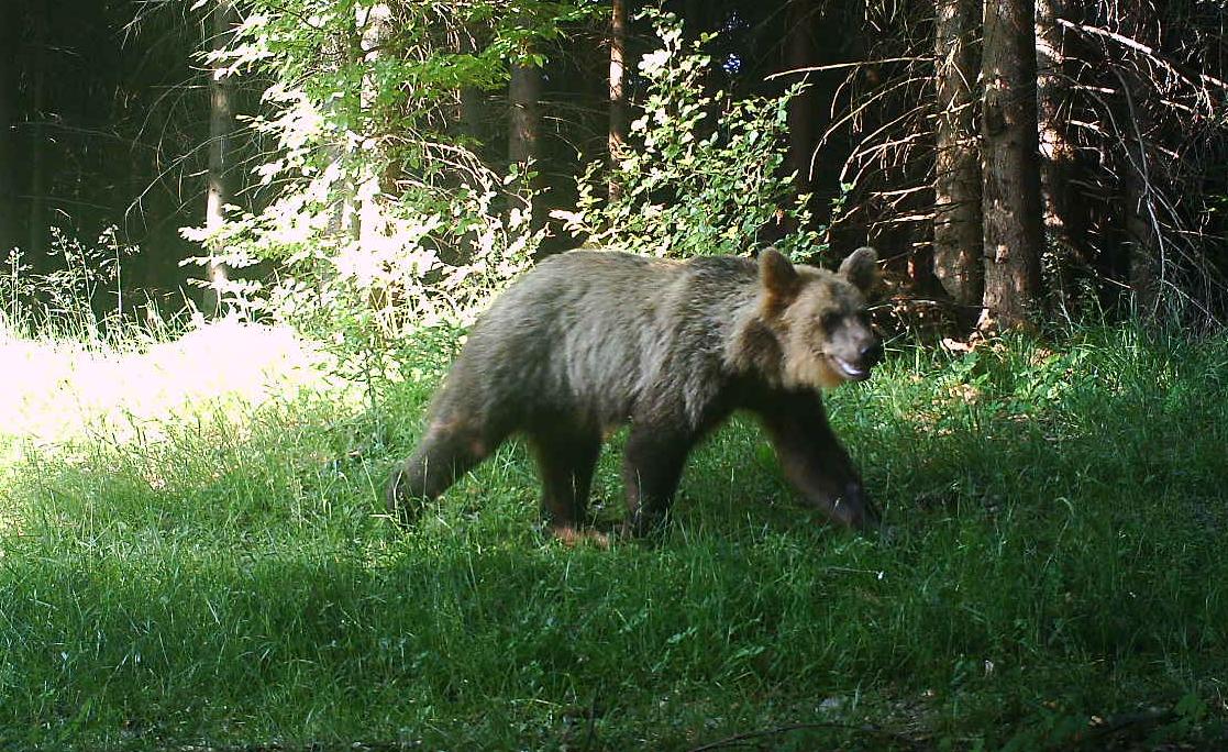 Koncem června zachytila fotopast v okolí Smrku dalšího medvěda