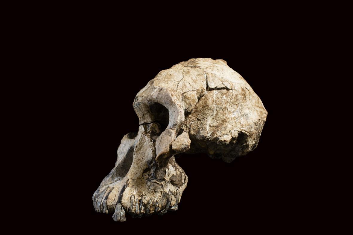 Lebka australopitheka MRD-VP-1/1