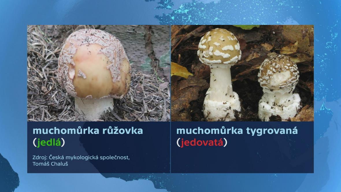Zaměnitelné druhy hub v tuzemských lesích