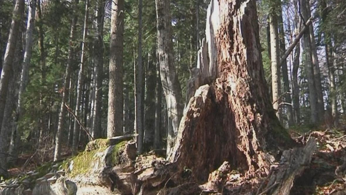 Původní lesy v Rumunsku