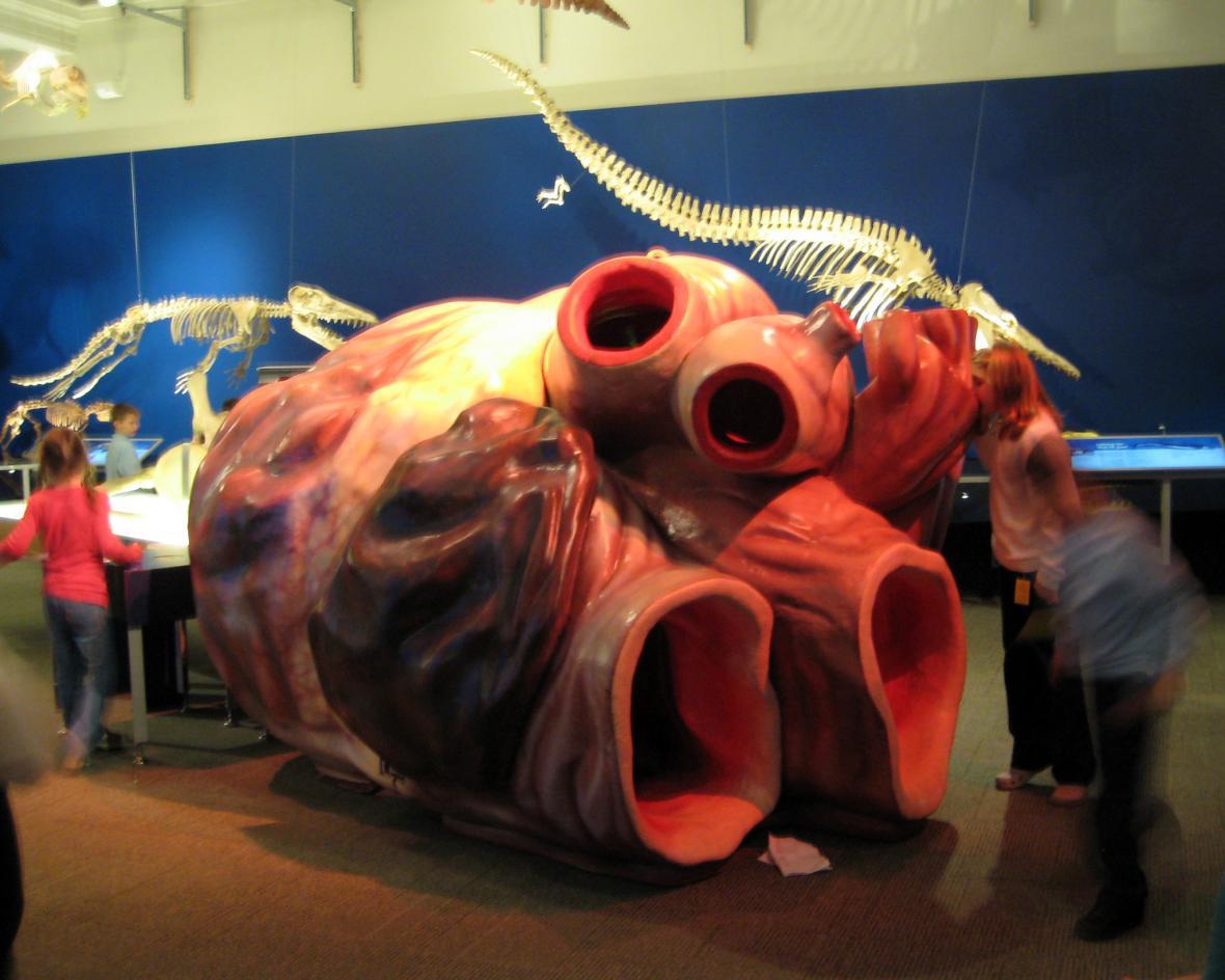 Model srdce plejtváka z Carnergie Museum