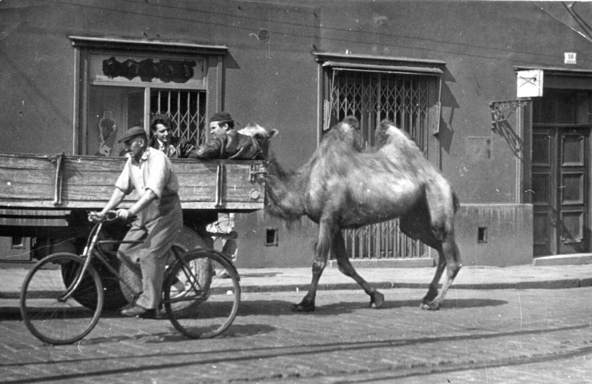 Josef Svoboda přepravuje velblouda pro brněnskou zoo