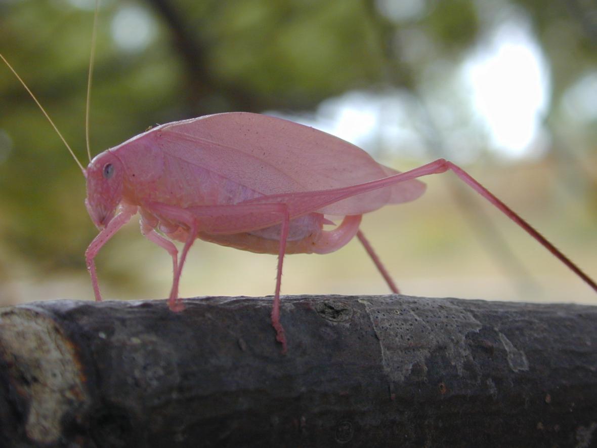Růžová kobylka