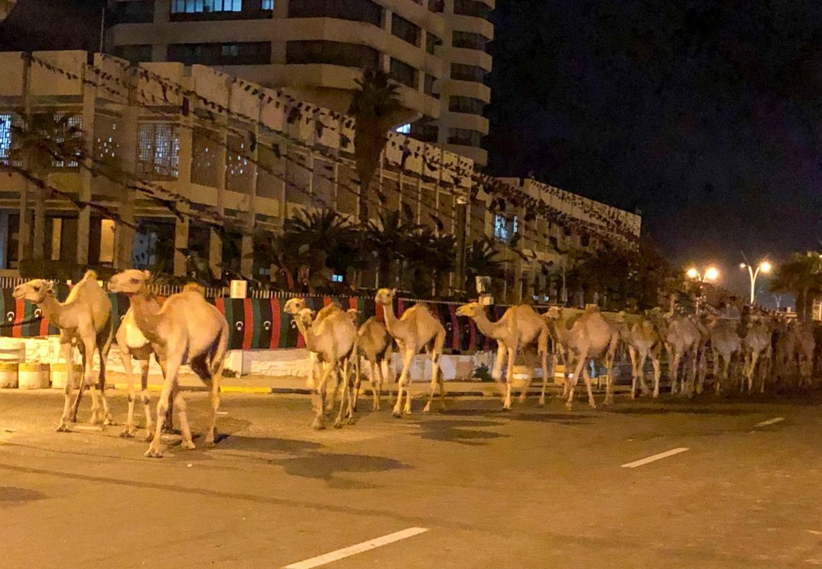 Evakuace velbloudů z Tripolisu