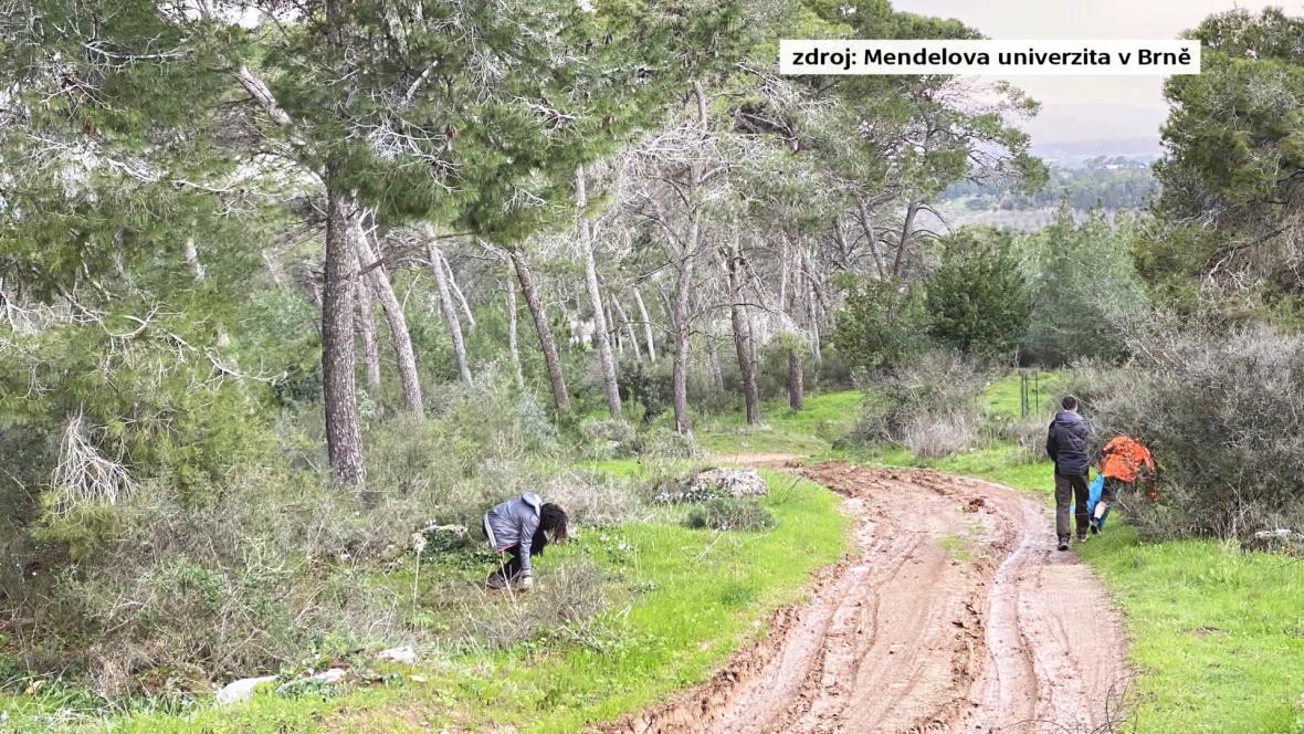 V Masarykově lese roste 13 tisíc borovic