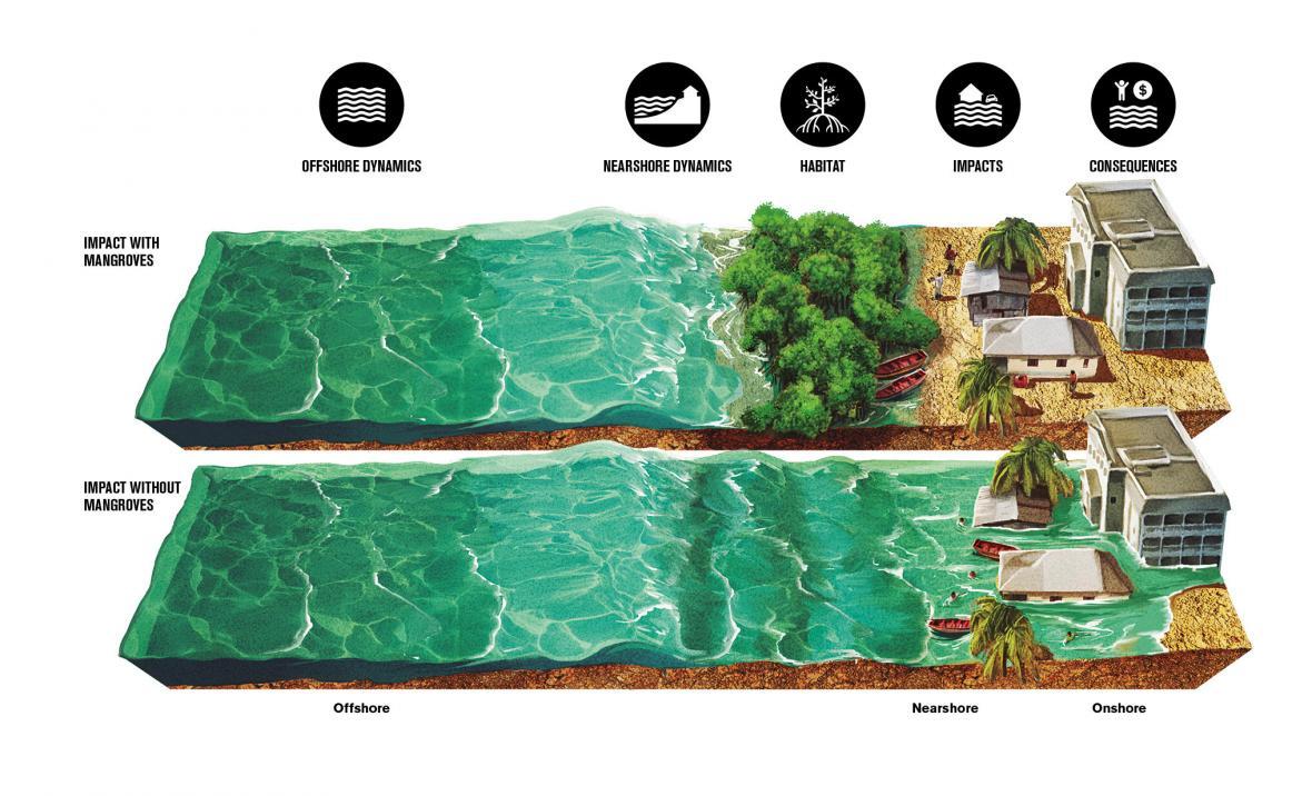 Jak mangrovy chrání pobřeží