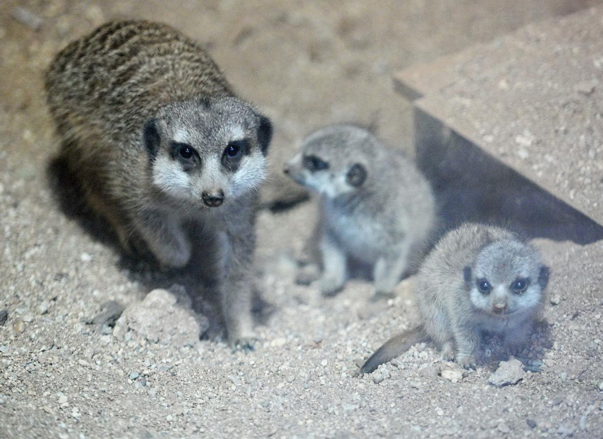 V únoru se v brněnské zoo narodila i mláďata surikat