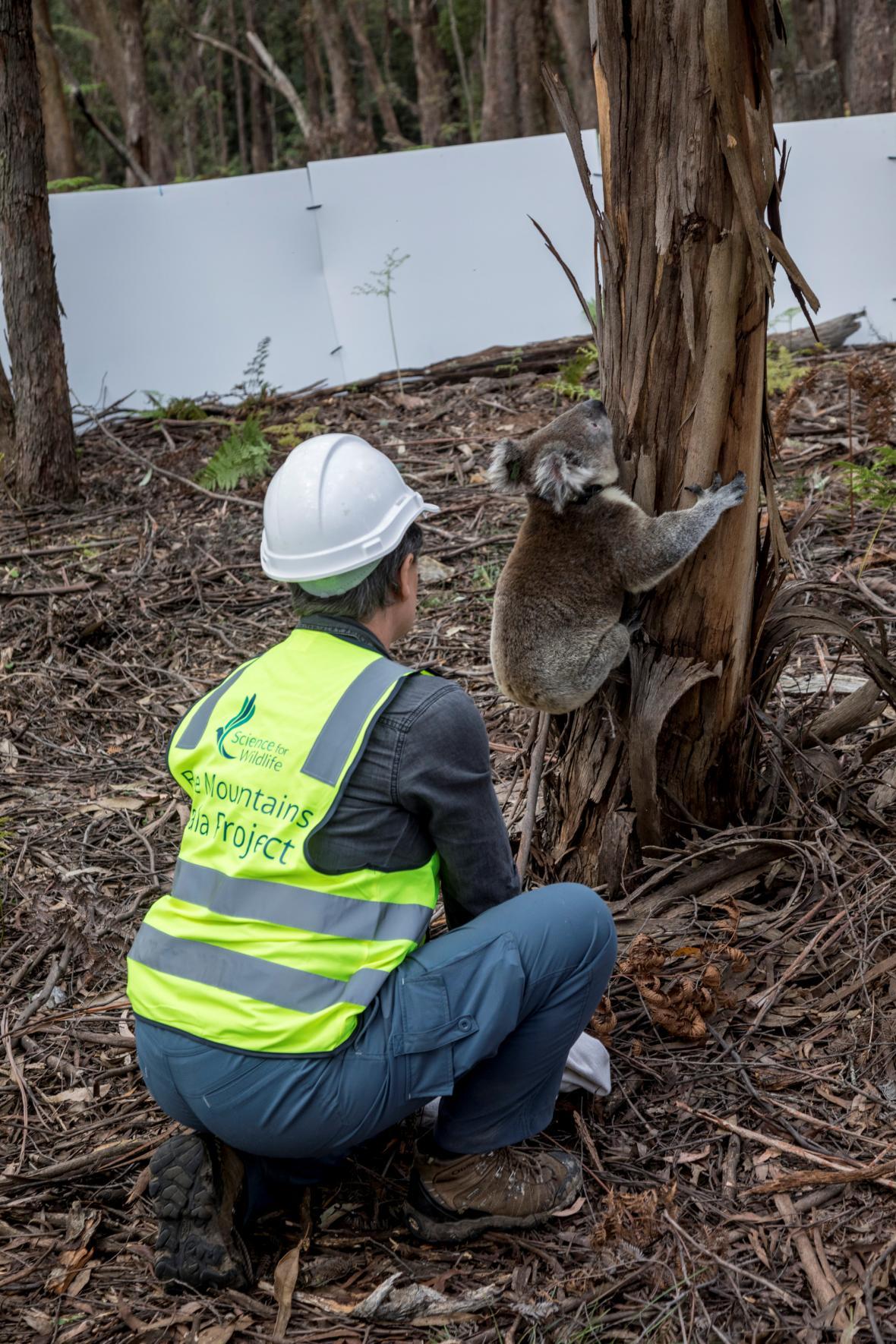 Návrat koalů zpátky do volné přírody