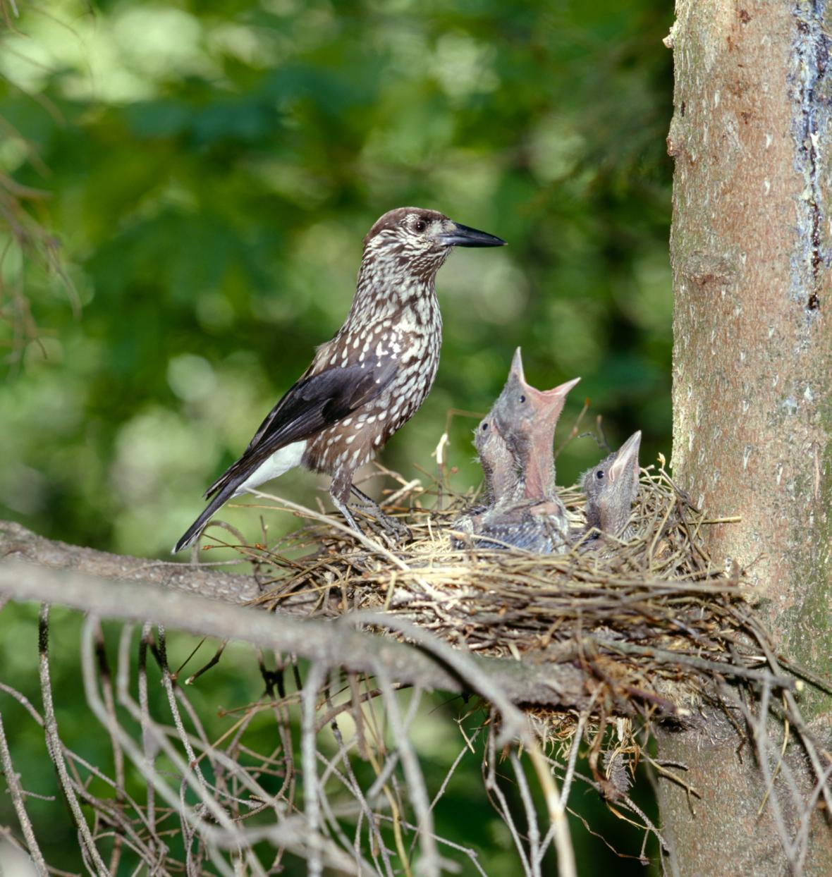 Samice ořešníka kropenatého s mláďaty