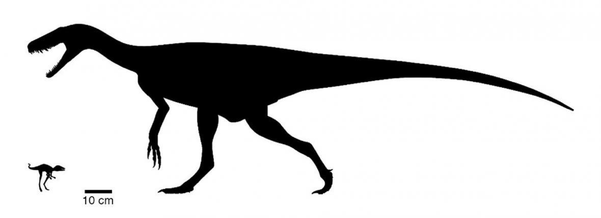Srovnání velikostí Kongonaphona kely (vlevo) a  Herrerasaura, jednoho z prvních dinosaurů