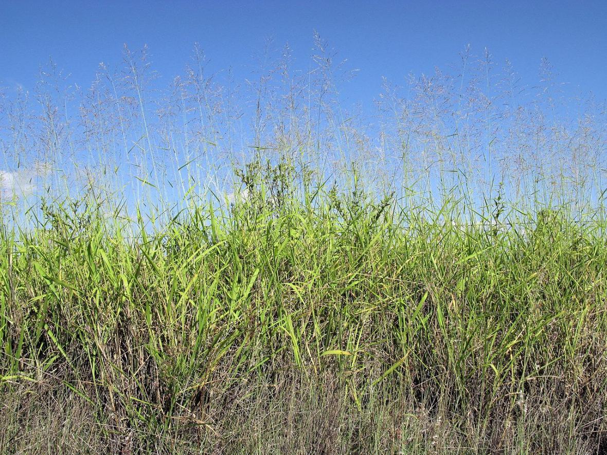Tráva Megathyrsus maximus může dorůstat do výšky až 150 centimetrů