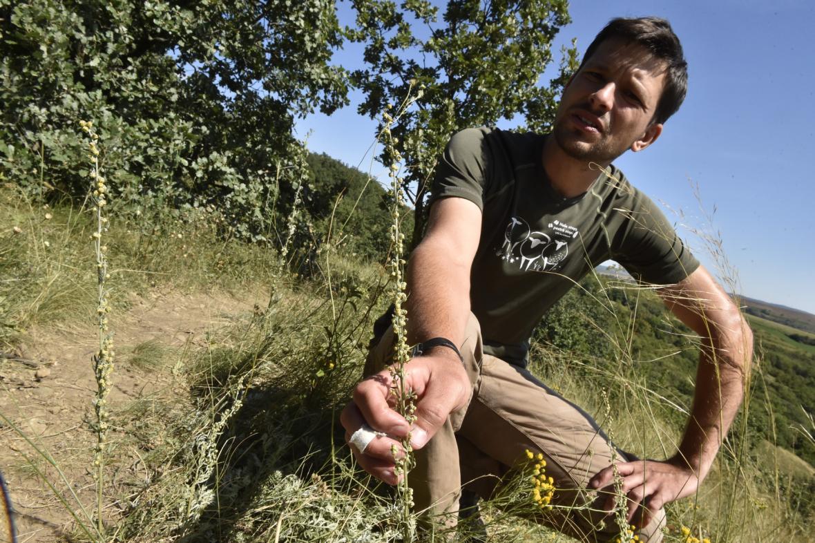 Díky šetrné pastvě se může okolo Hustopečí rozrůst i pelyněk Pančičův