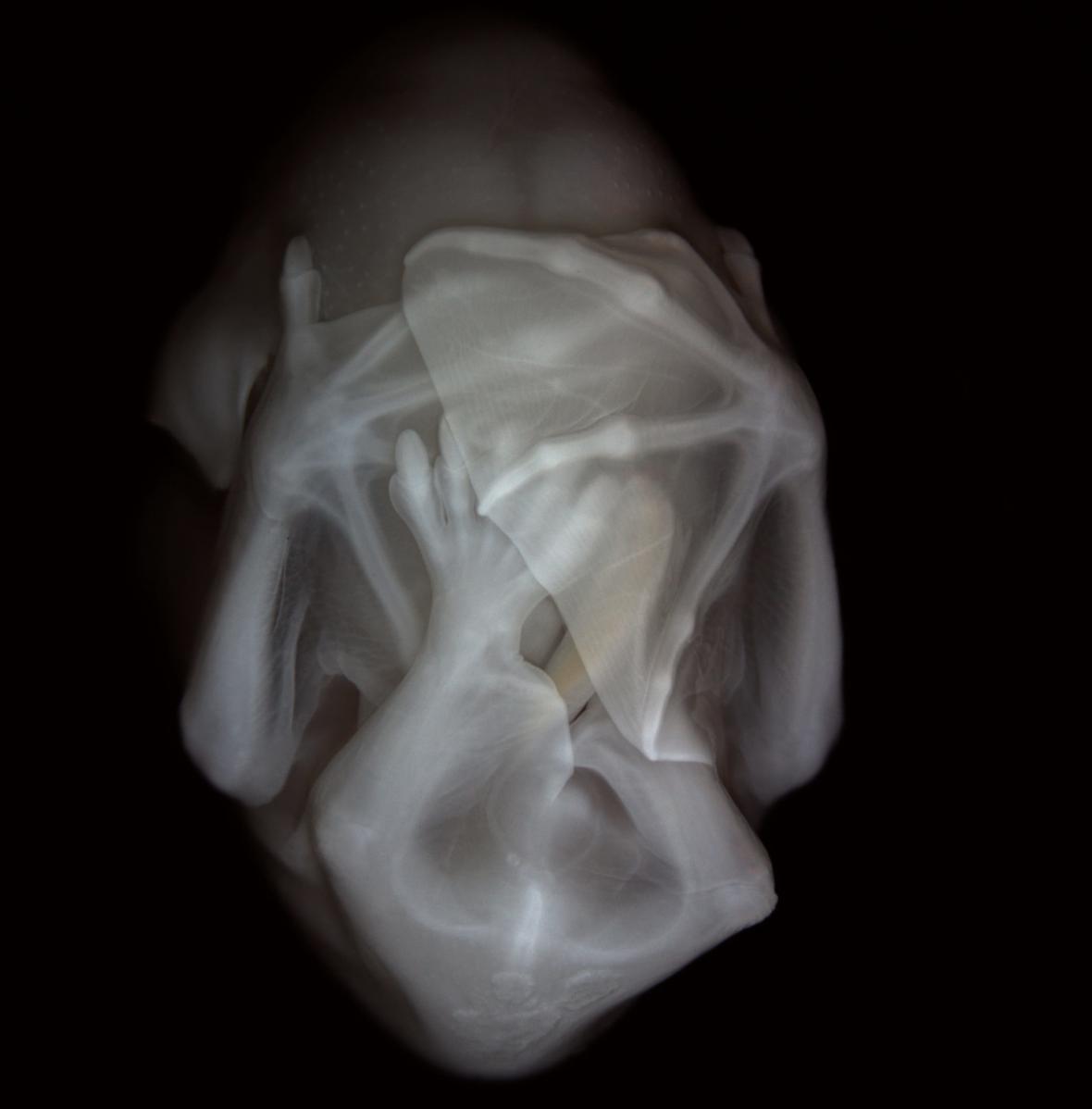 Embryo listonosa krátkoocasého