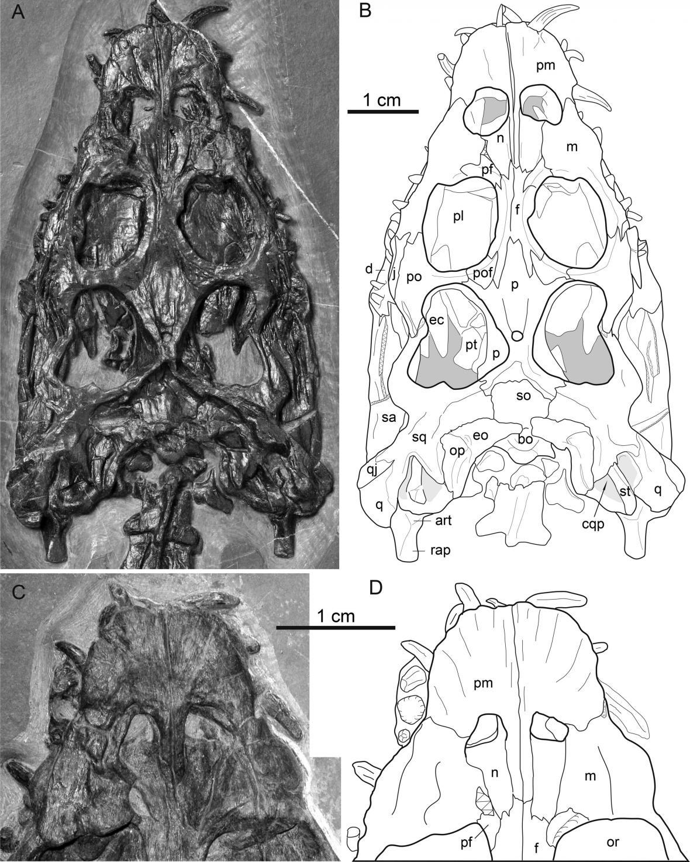 Kostra Brevicaudosaura jiyangshanensis