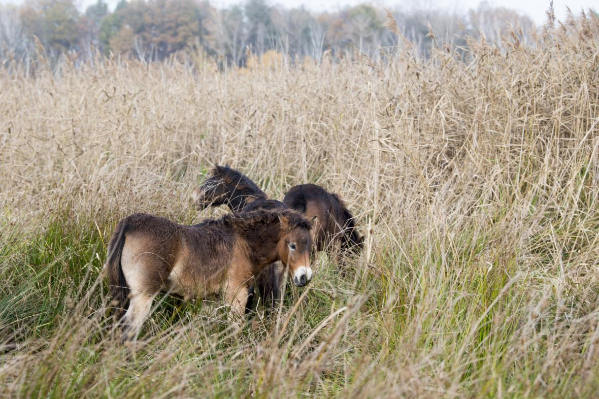 Koně obsadí 20 hektarů v rezervaci