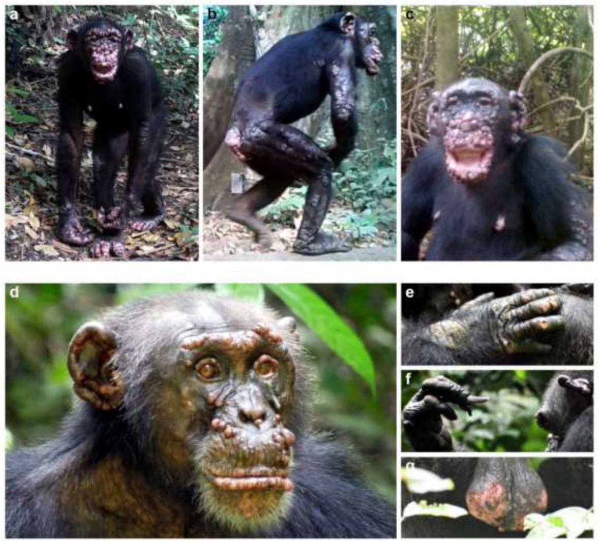 Šimpanzi s leprou