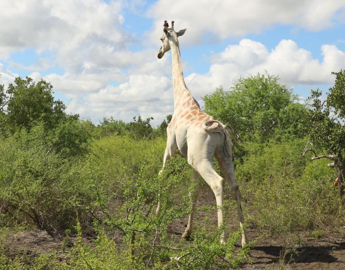 Jediná bílá žirafa