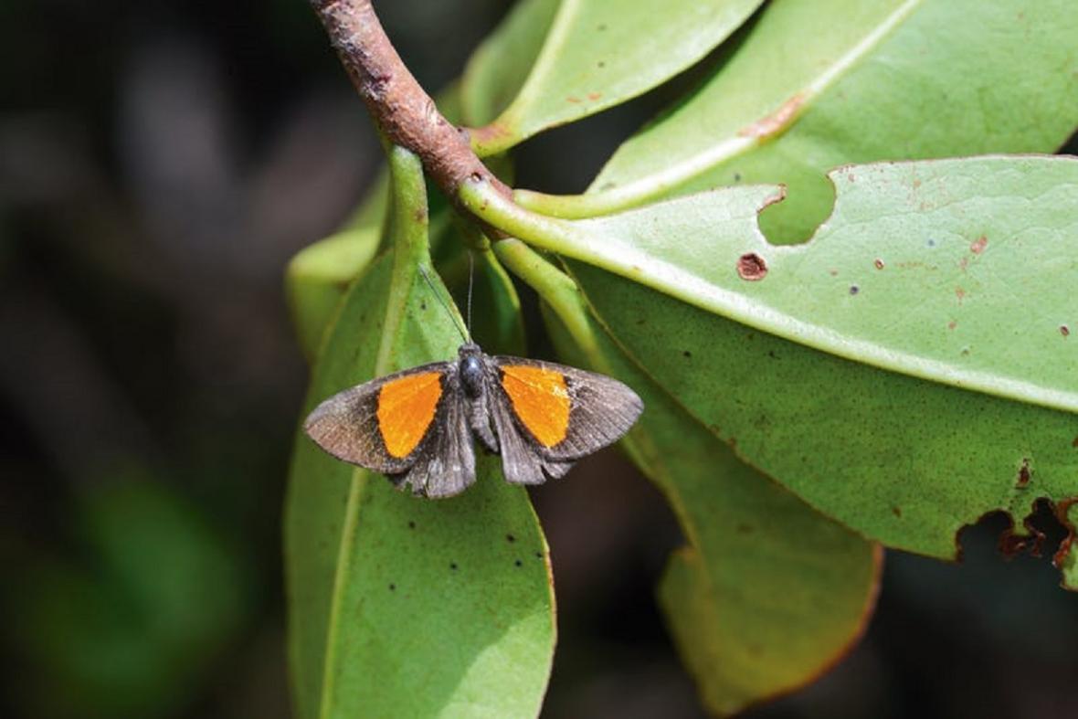 Nově objevený druh motýla