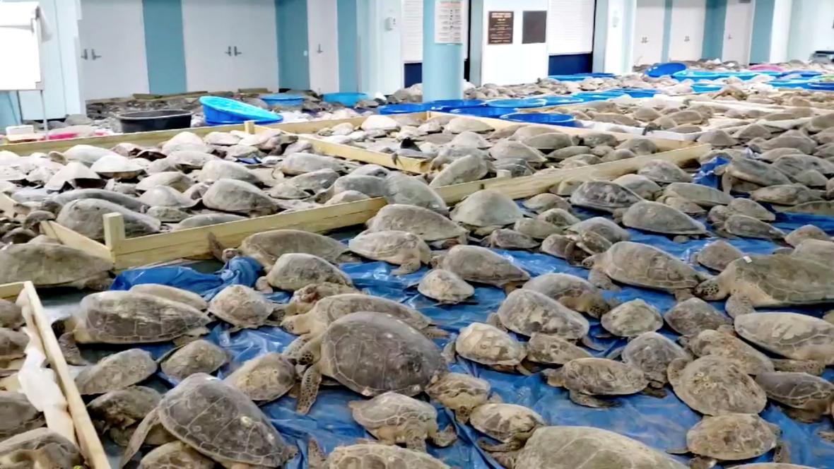 Mořské želvy zachráněné před mrazivým počasím