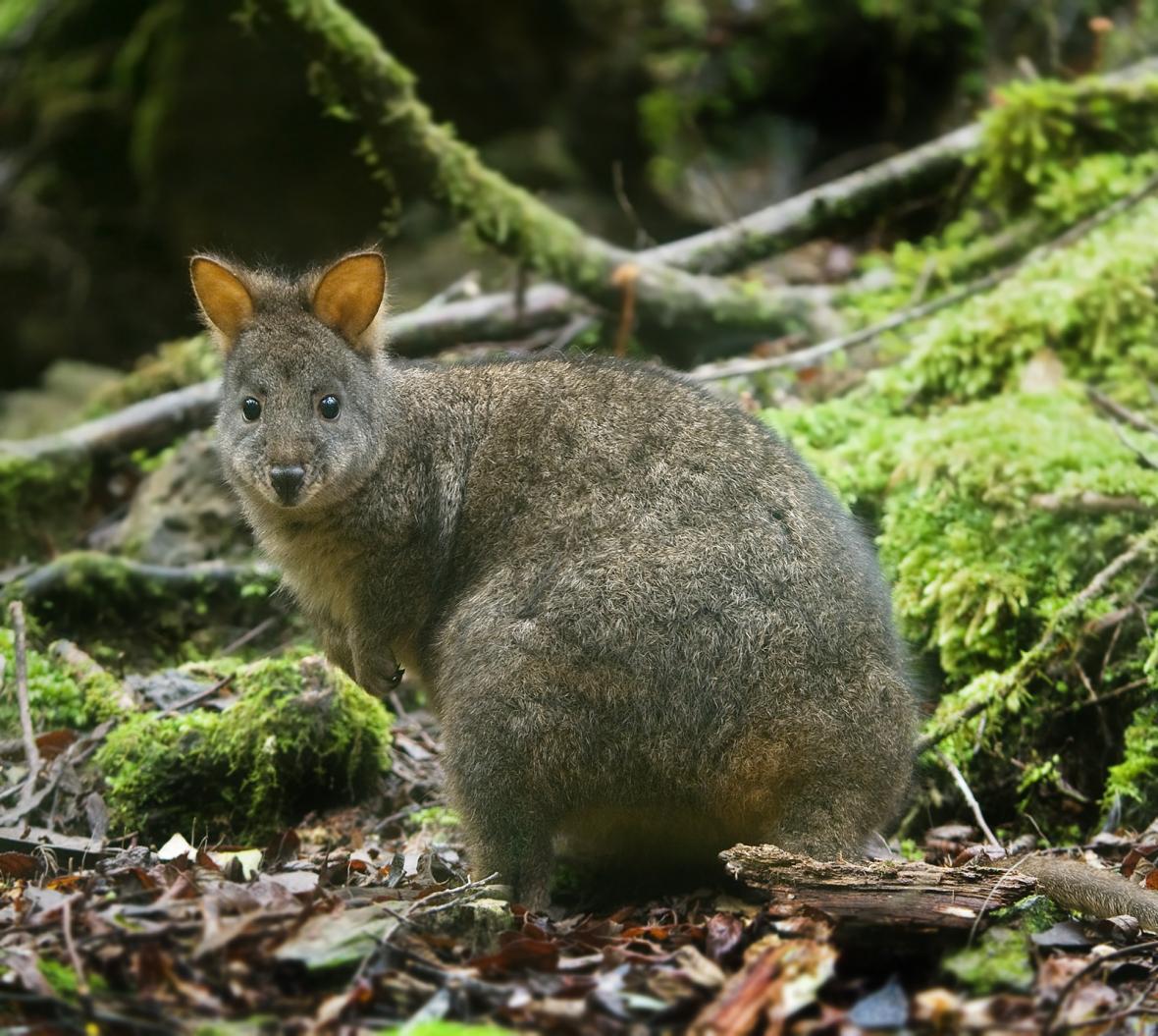Klokan tasmánský