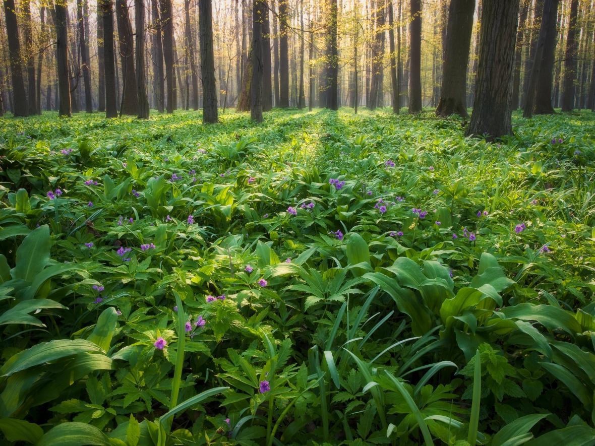 Lužní les s rozkvetlou kyčelnicí