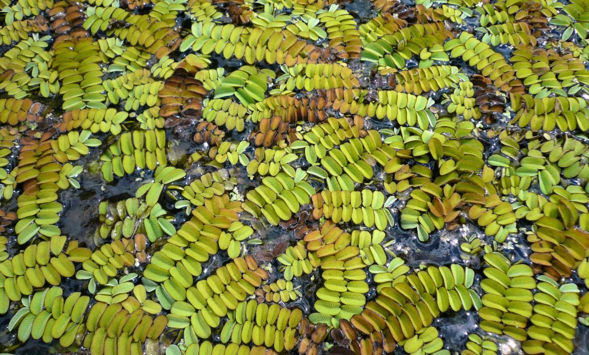 Nepukalka vzplývající, vodní kapradina vyskytující se na rybnících v Poodří