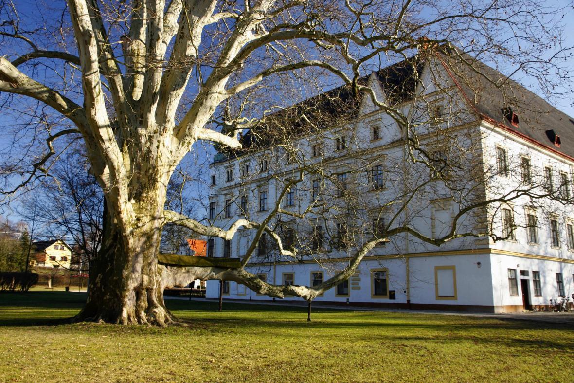 Památný platan u zámku v Bartošovicích