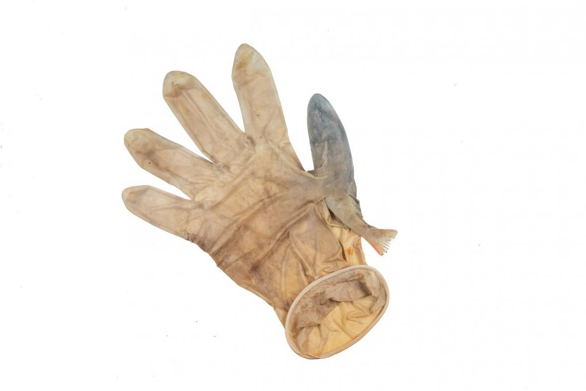Okoun uvízlý v rukavici