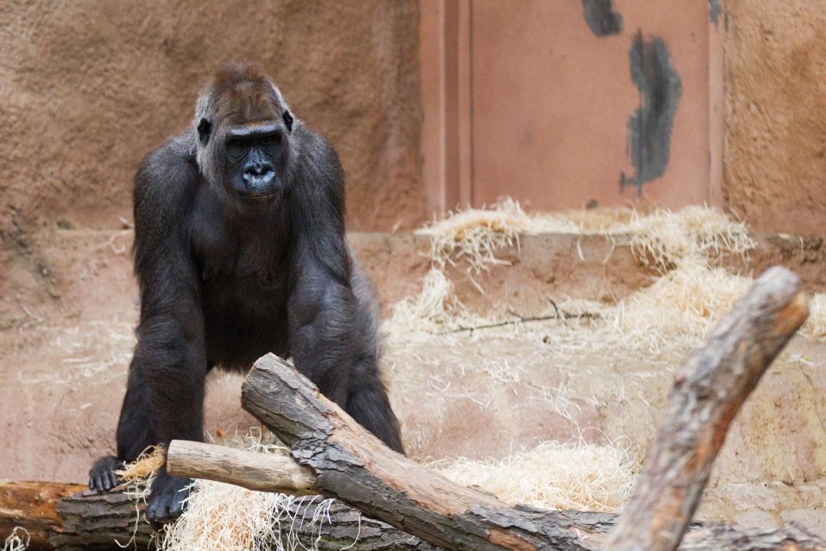 Bikira, gorila nížinná
