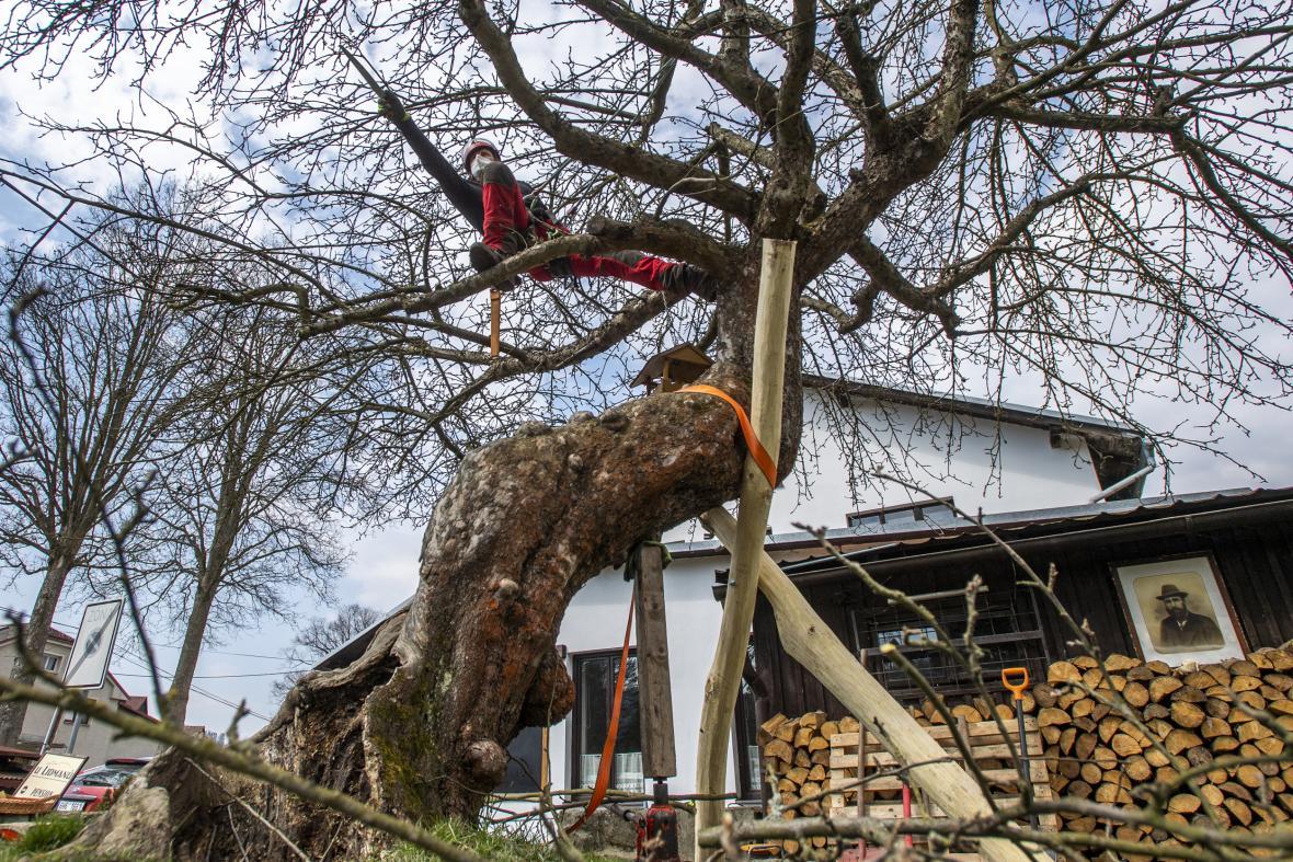 Arborista Václav Štojdl ošetřil jabloň u Lidmanů v Machovské Lhotě na Náchodsku, která zvítězila v loňském ročníku ankety Strom roku