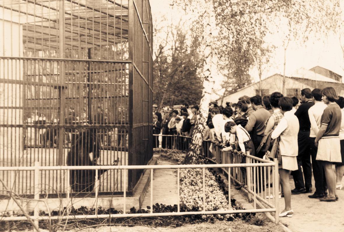 Chovná skupina šimpanzů měla vnitřní expozici v pavilonu Exotárium (rok 1965)