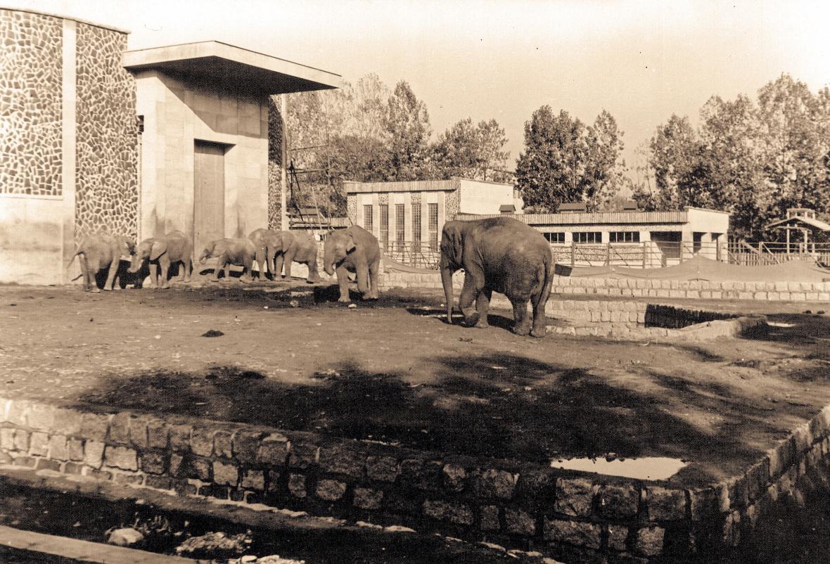 Sloni ve výběhu (rok 1971)