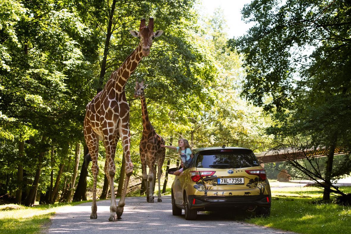 Toyota na safari